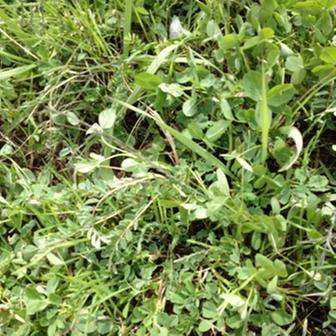[Thumbnail for 2nd Year Pasture Seed Plants Spring 2012 a.JPG]