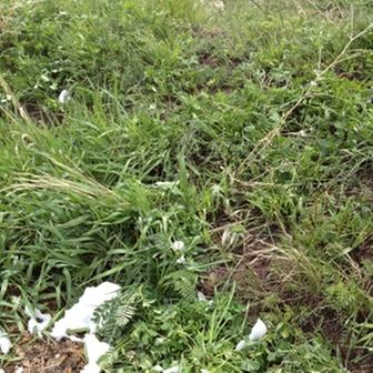 [Thumbnail for 2nd Year Pasture Seed Plants Spring 2012 b.JPG]