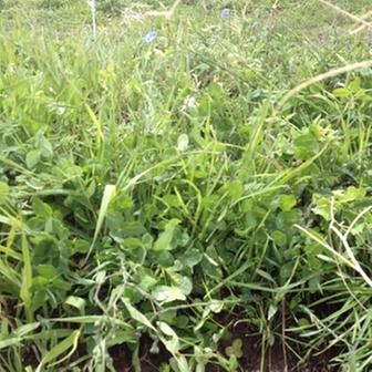 [Thumbnail for 2nd-Year-Pasture-Seed-Plants-Spring-2012-c.JPG]