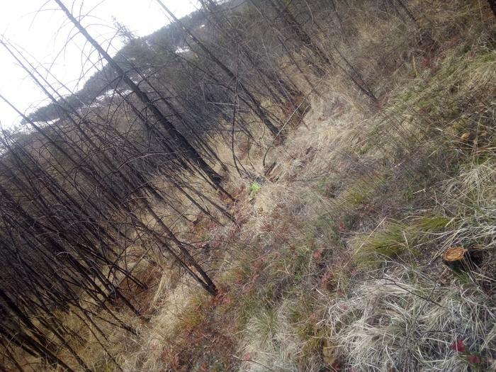 chainsawing the burnt forest