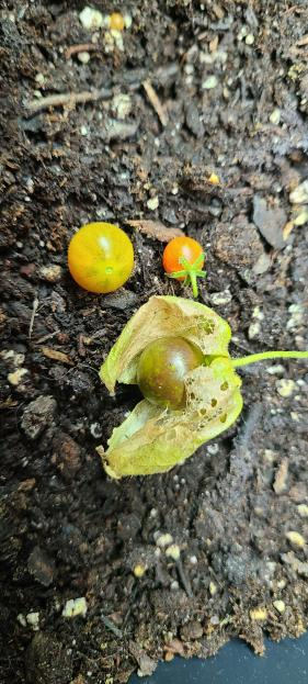 Physalis fruit beside wild pimpinellifolium type fruit and slightly larger volunteer tomato fruit