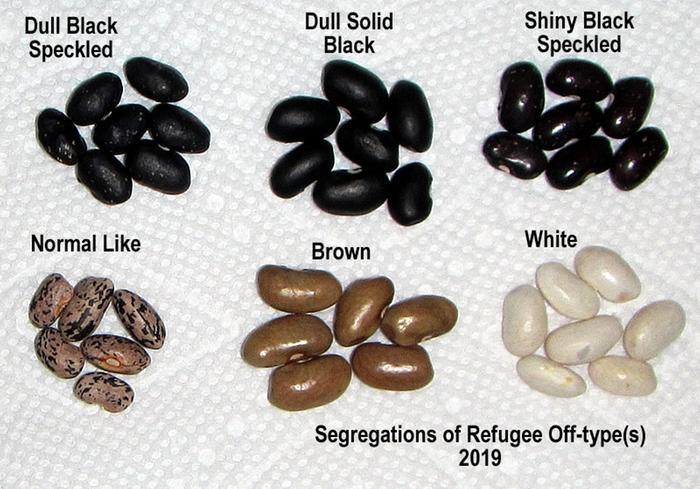 Segregations from bean cross