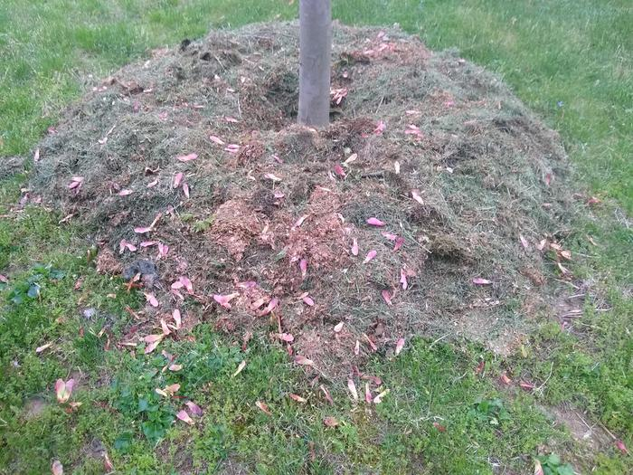 base of red maple with fresh mulch and newly dropped samaras