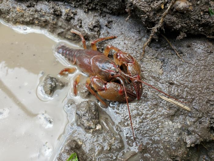 Crayfish in small pond