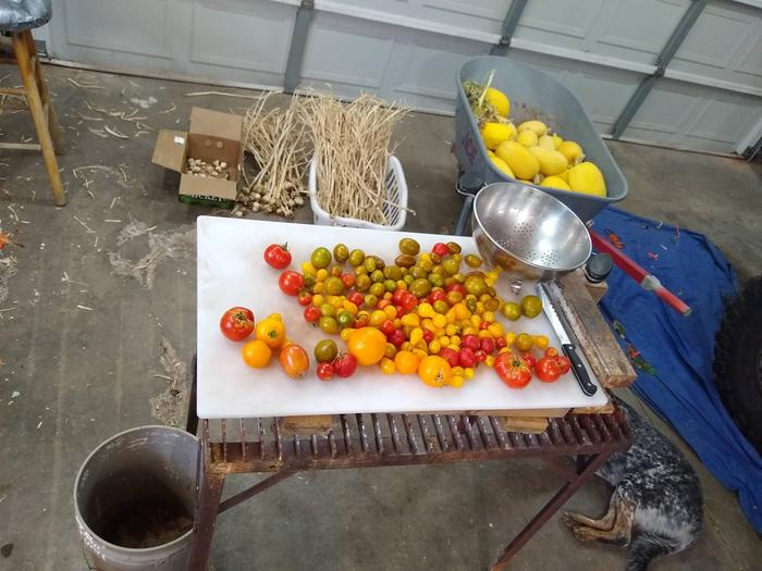 200 garlic heads in back, spaghetti squash in wheel barrow, tomatoes on table.