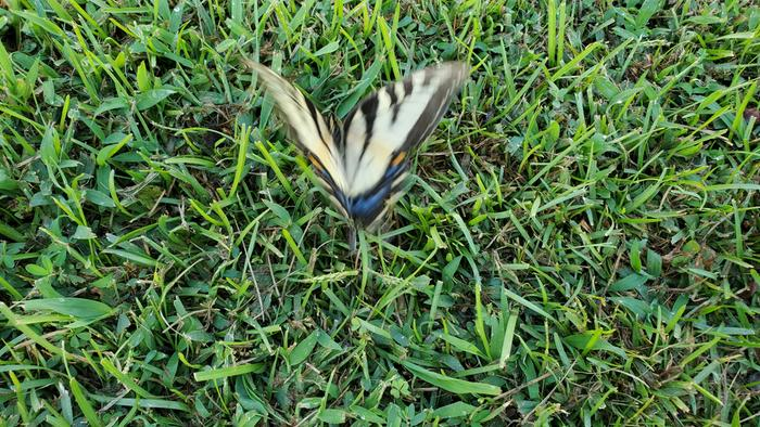 eastern tiger swallowtail butterfly (Papilio glaucus) taking flight