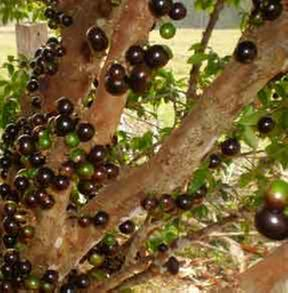 [Thumbnail for 1594-jaboticaba.jpg]