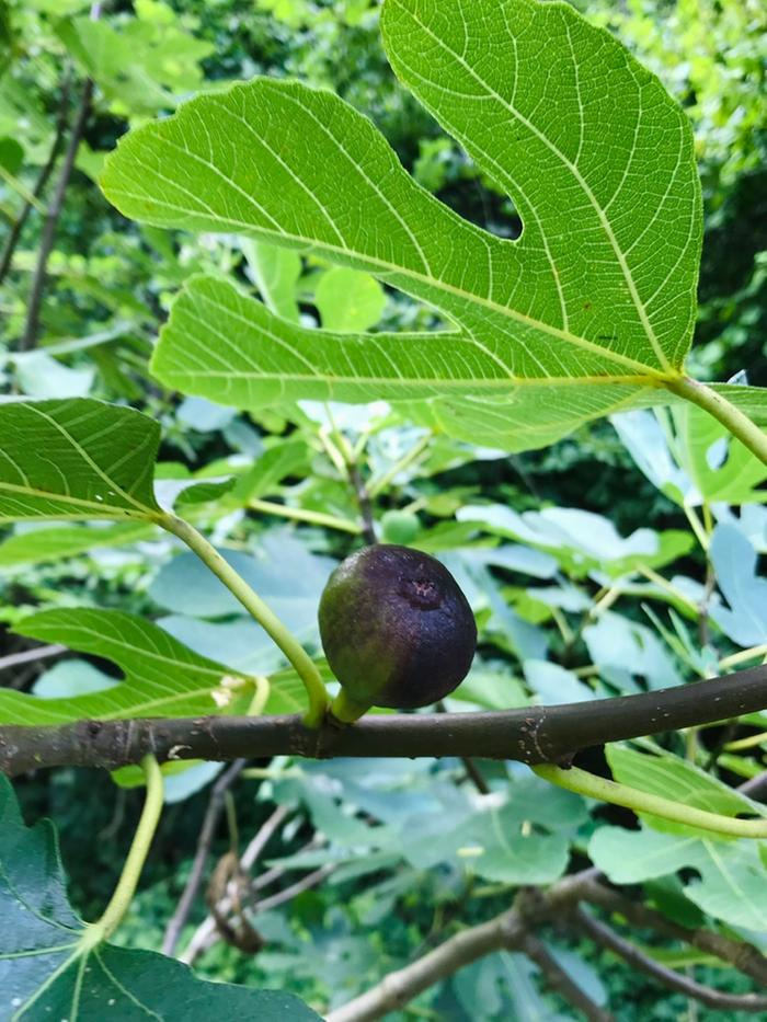 Fig starting to change colour