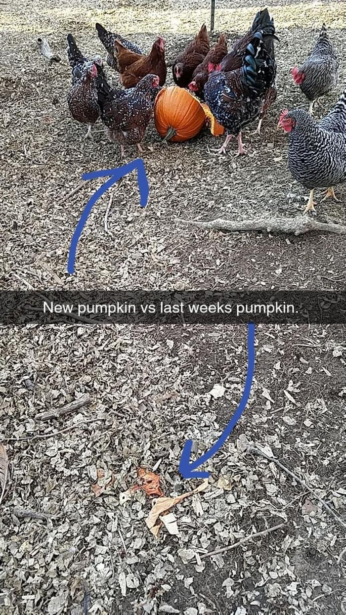 chickens eating a pumpkin