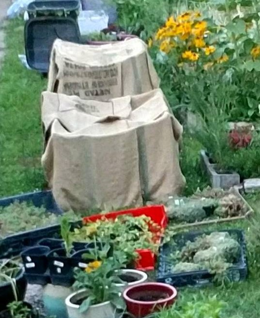 This shot is June 19, 2018. The pits were staked and covered with heavy burlap coffee bags to provide shade. I wet them frequently for cooling in hot weather.