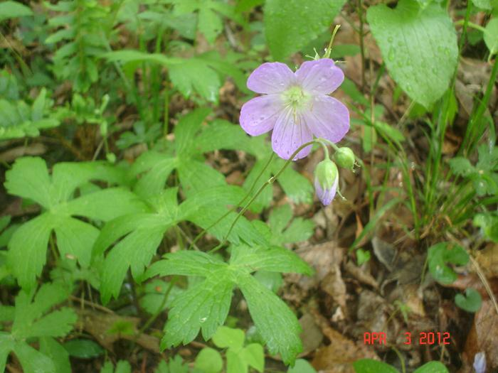 [Thumbnail for wildgeraniums-026.JPG]