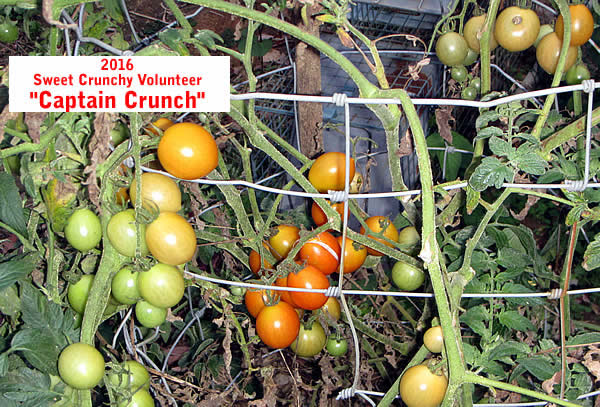 """Captain Crunch"" tomato from Lofthouse seeds"
