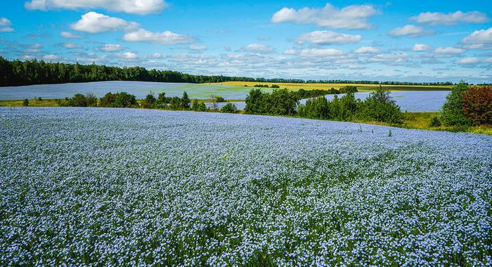 [Thumbnail for flax-field-flax-blooming-flax-agricultural-cultivation-igor-klyakhin.jpg]