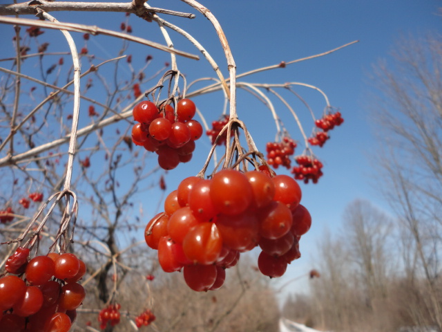 High bush cranberries set against blue skies.