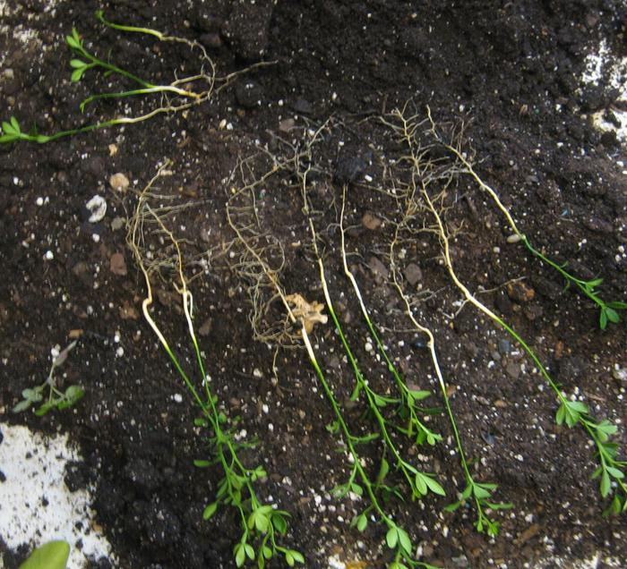 By using a mix of compost and Perlite the closely planted seedlings can be separated without root damage.