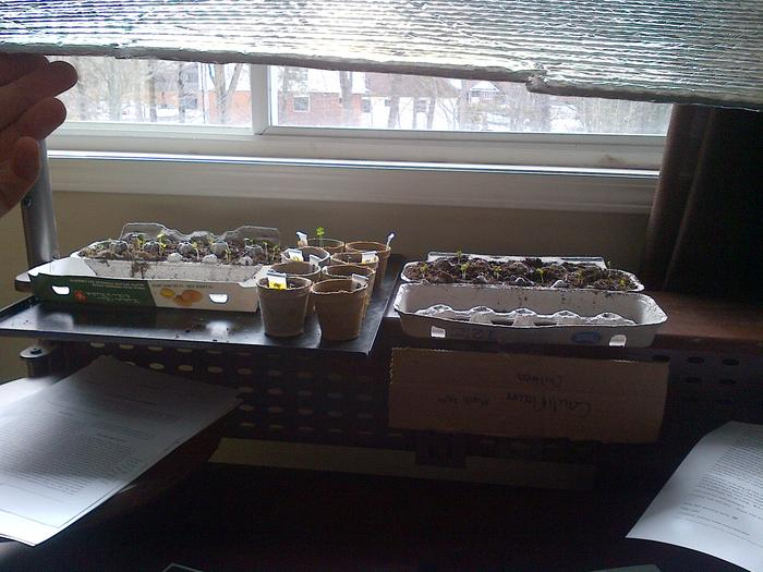 I'm holding up a reflective sheet here, it helped to reflect some of the sunlight so the seedlings weren't leaning so much