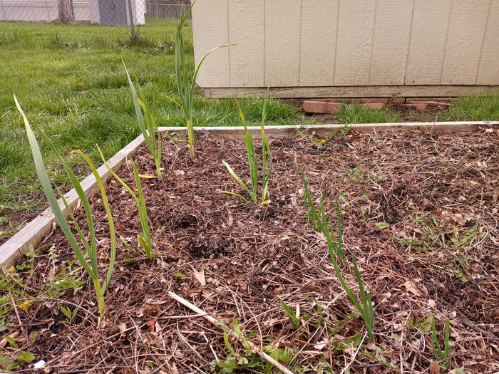 Bonus: Garlic planted in October (left) and onions planted March 19