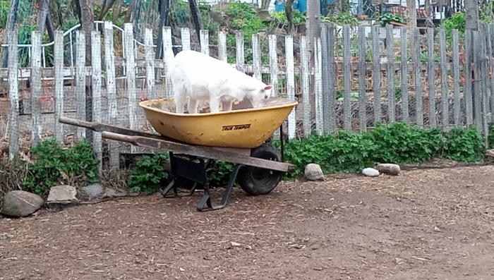 Making sure the wheelbarrow is in tip-top shape (little blurry as I had to zoom, this little one still isn't used to me)