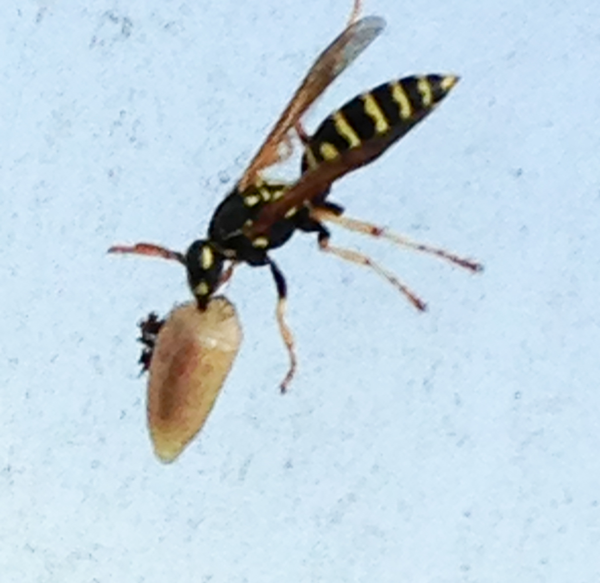 Yellow jackets in ground in winter ohio -  Thumbnail For Paper Wasp Carrying Slug Jpg