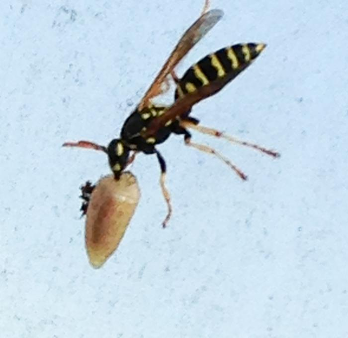 [Thumbnail for Paper-Wasp-Carrying-Slug.jpg]