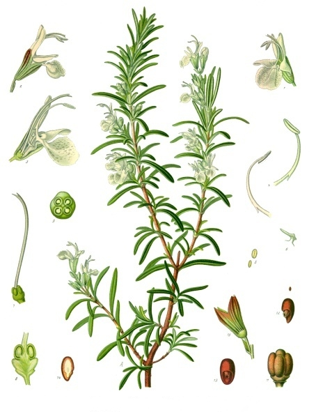 [Thumbnail for Rosmarinus_officinalis.jpg]