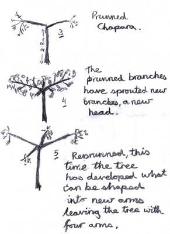 Similar Threads Italian Chestnut Tree