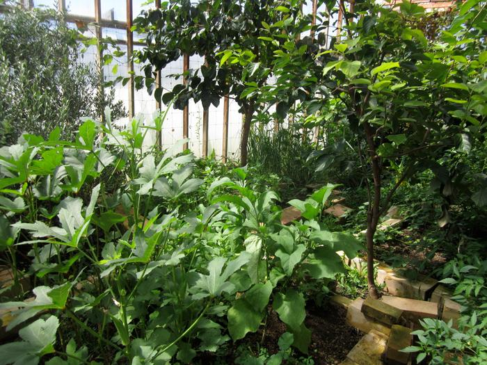 okra and basil under oriental persimmon tree