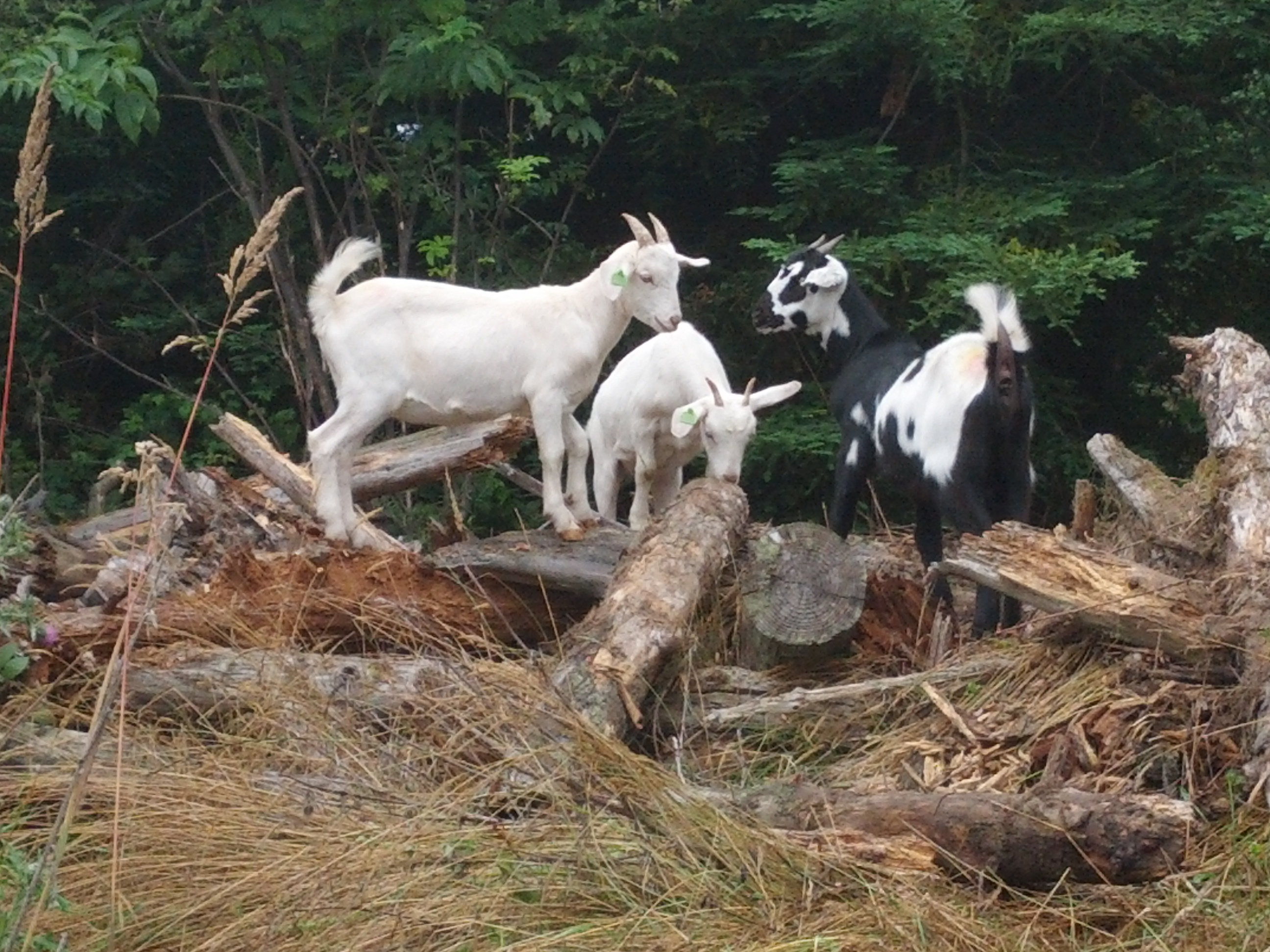 Hardiest breeds- purebred or mix? (goats forum at permies)