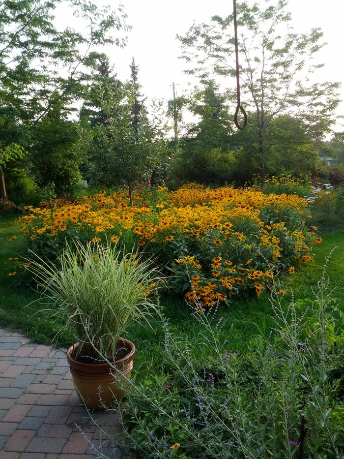 [Thumbnail for July-11-2015-front-garden-rudbeckia.jpg]
