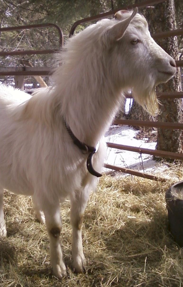 Fantastic Saanen goat buck for sale - Kalispell (missoula