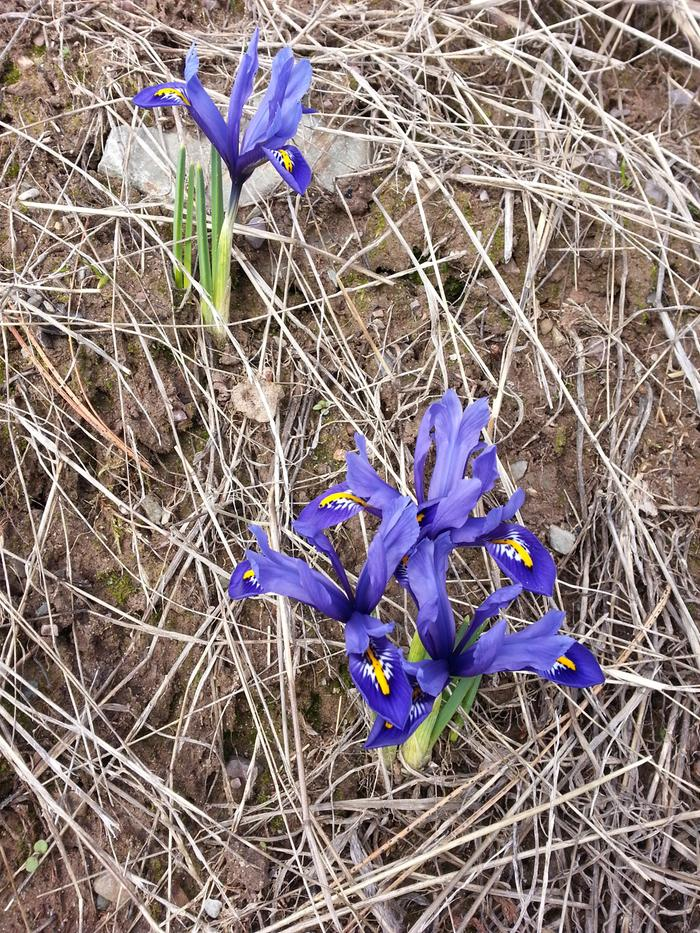 [Thumbnail for Siberian-iris-20170324.jpg]
