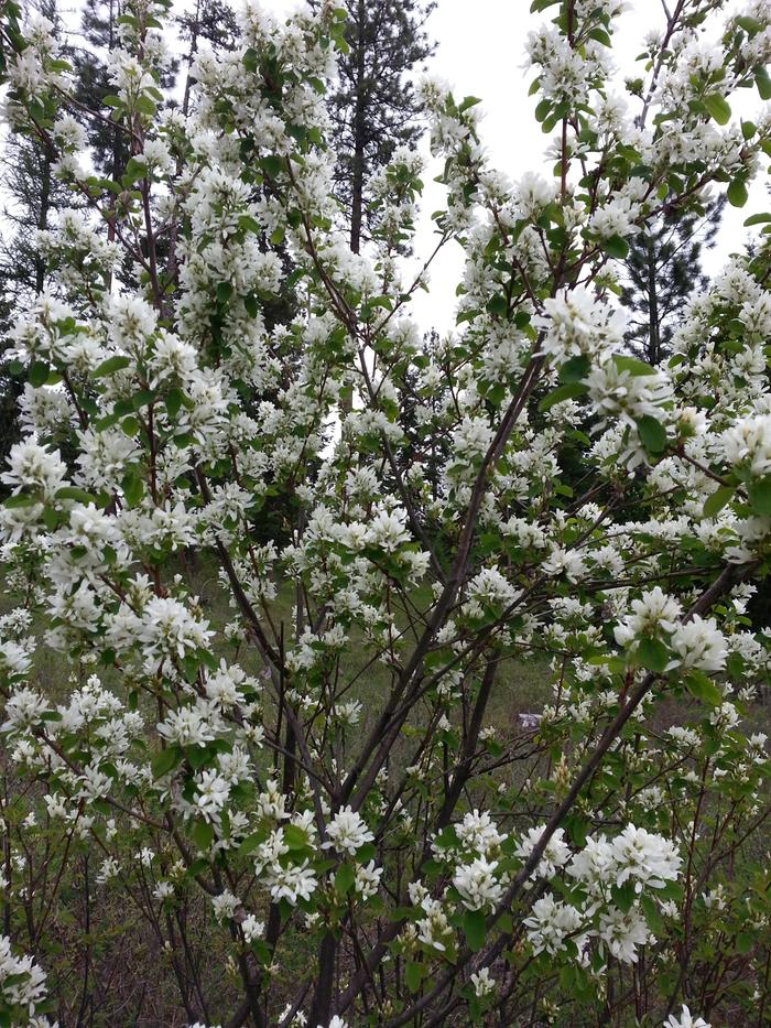 Lots of spring blossoms - saskatoon/serviceberry/juneberry