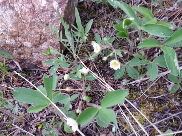wild strawberries in bloom