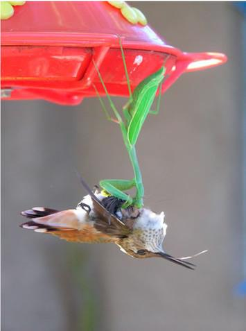 [Thumbnail for praying-mantis-hummingbird.jpg]
