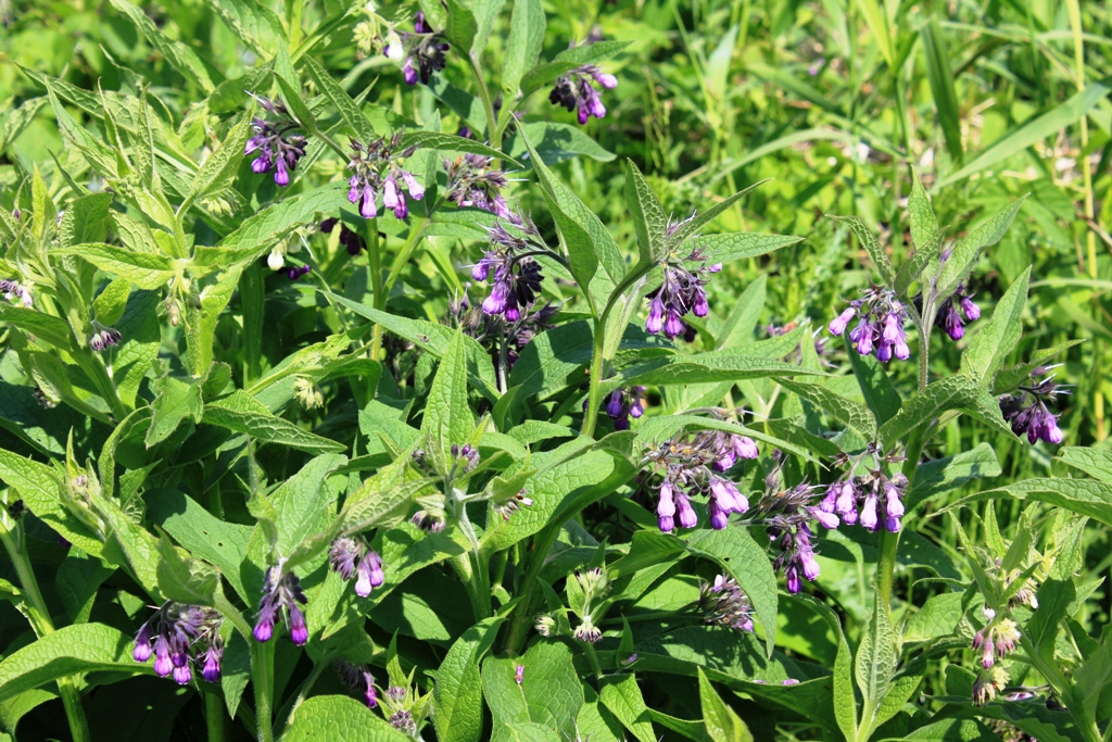 how to grow comfrey from root cuttings