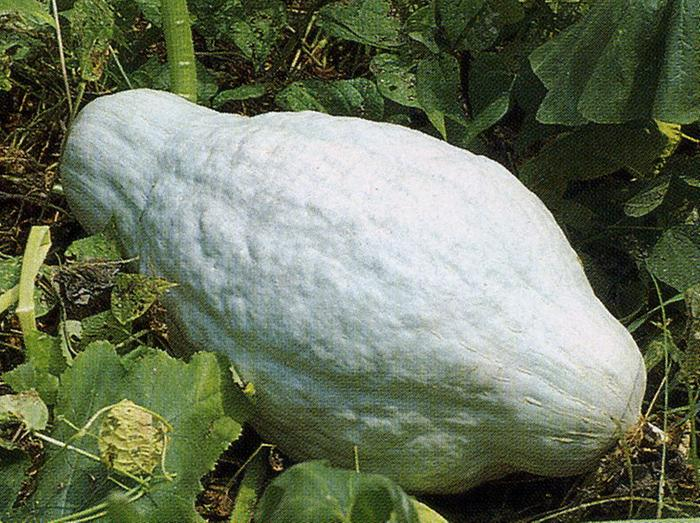 [Thumbnail for hubbard squash.jpg]