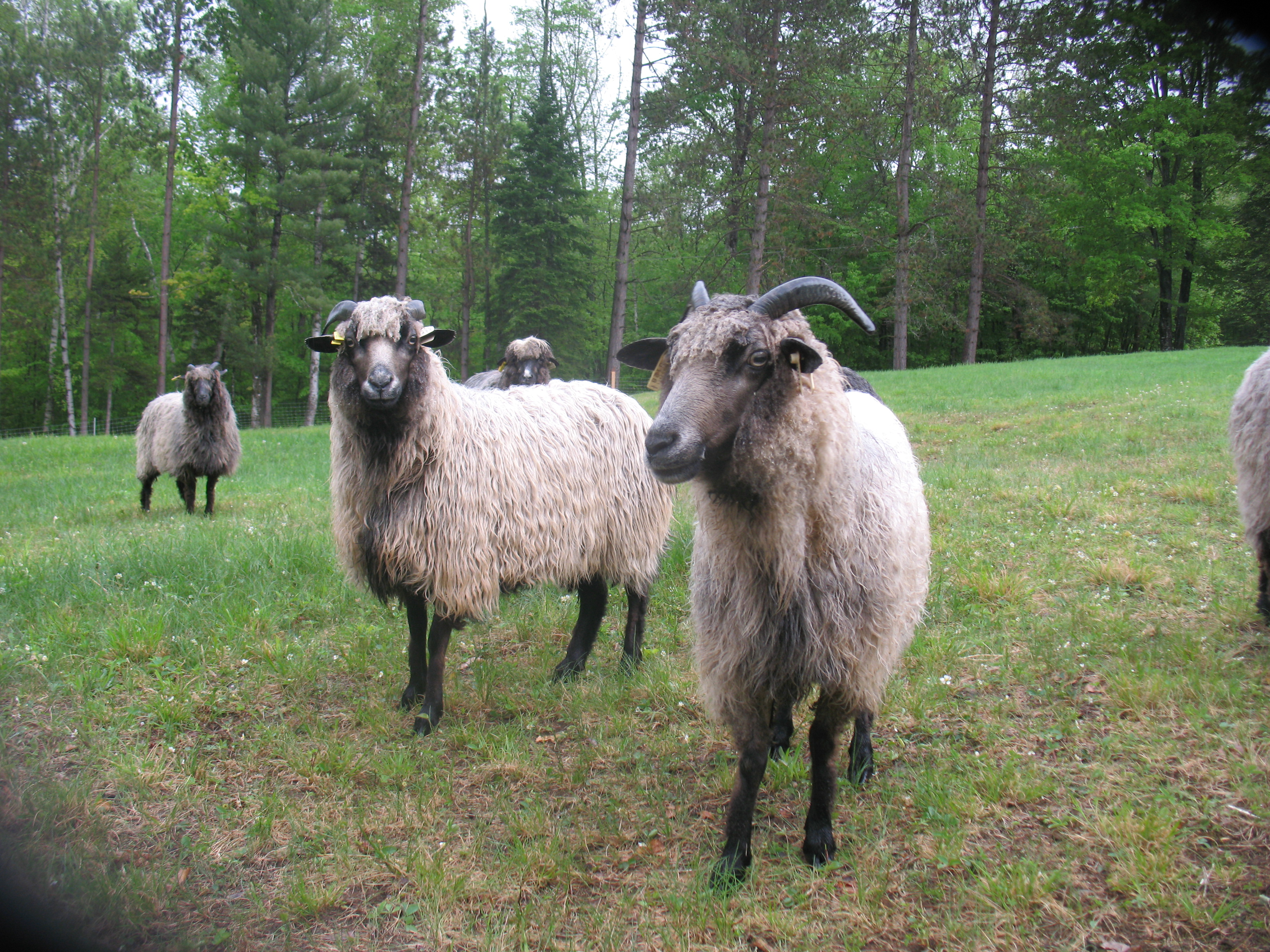 help. stange sheep poop, and holistic worming and parasite control
