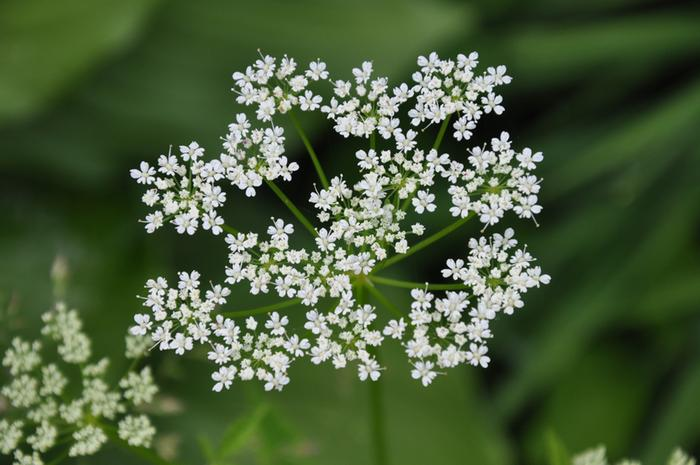 [Thumbnail for Umbellifera flower.jpg]
