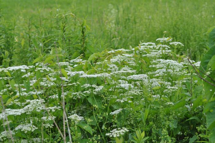 [Thumbnail for Umbellifera-wide-view.jpg]