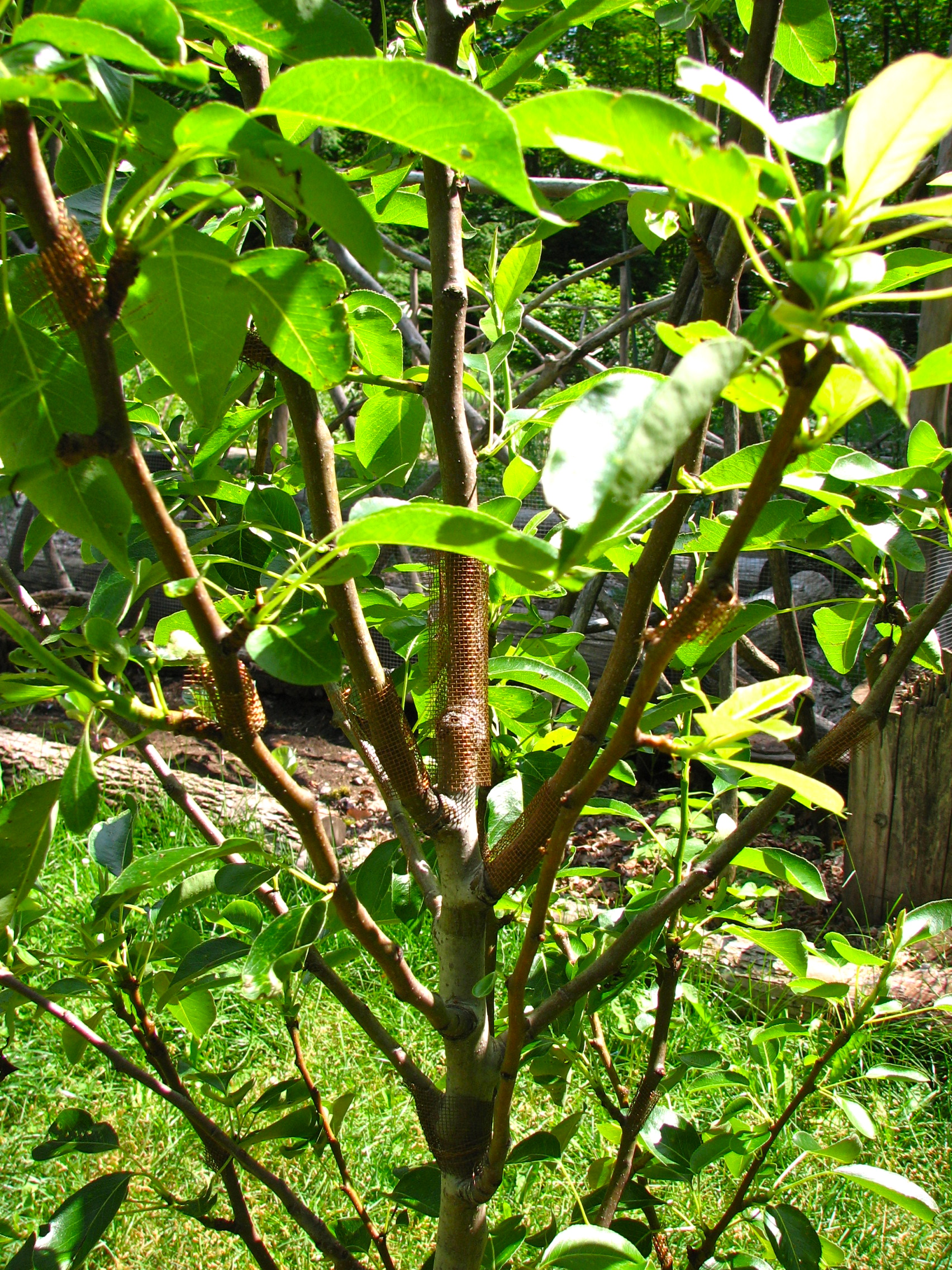 Solid Copper Pear Blight Treatment Experiment Trees Forum