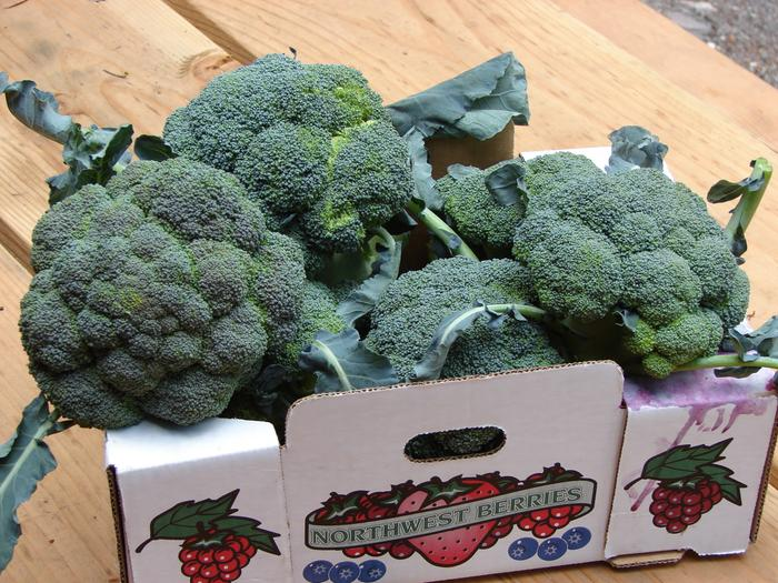 [Thumbnail for 0808Skipley-1st-Broccoli-(1).JPG]