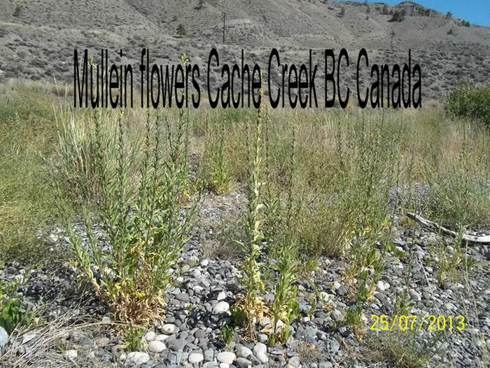 [Thumbnail for mullein-flowers.jpg]