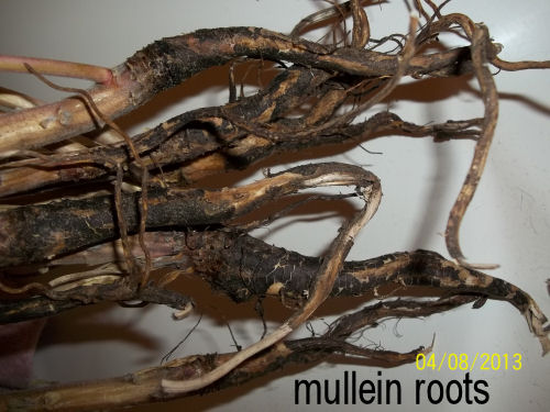 [Thumbnail for mullein-roots.jpg]