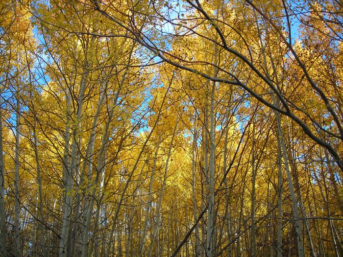 [Thumbnail for lots-of-fall-aspens.JPG]