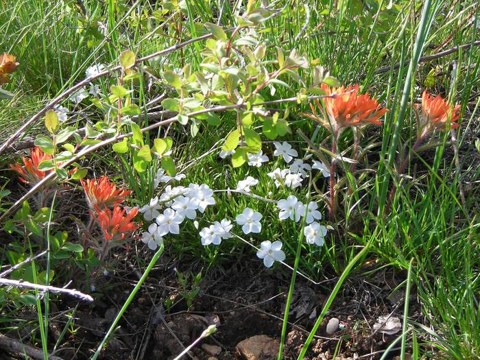 Indian paintbrush and friends.