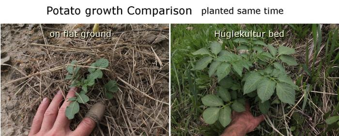 [Thumbnail for Potato Growth Compare_Hugel-vs-ground_2014-05-27sm.JPG]