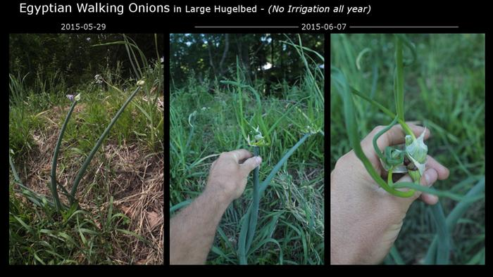 [Thumbnail for Hugelbed_Large_2015_Onion Progress.JPG]