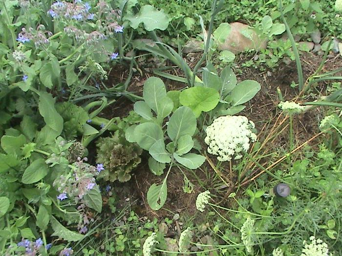 [Thumbnail for lettuce-cabbage-borage-leeks-broccoli-burdock-and-carrots.JPG]