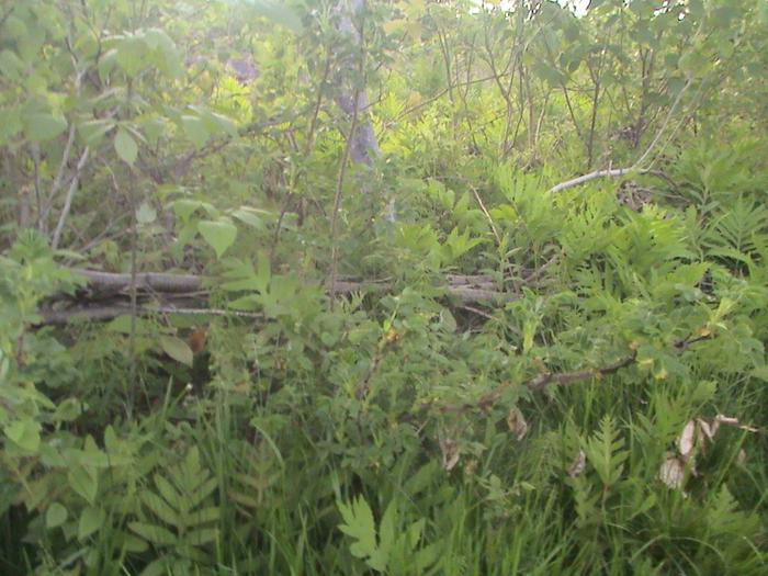 [Thumbnail for pasture-hedgeline-planted-with-willow-hawthorn-rosa-rugosa-alexanders-lovage-and-more.JPG]