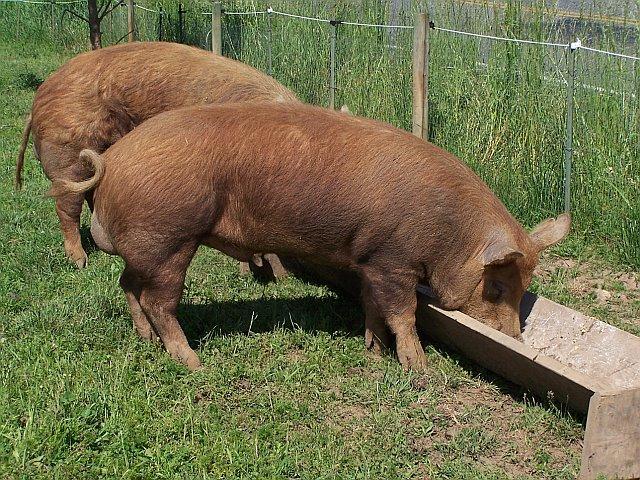 Keeping Feeding Pigs Pigs Forum At Permies